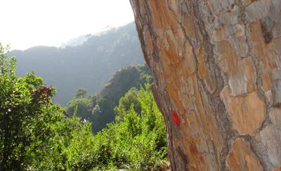 pino secolare del Parco di Portofino